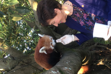 Image of Dame Patsy feeding a red panda