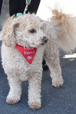 Image of Charlie the Poochon (Poodle/Bichon Friese mix)