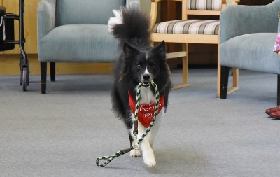 Image of Border Collie Jack, fetching his lead