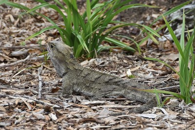Image of Big Boy, another resident tuatara