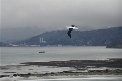 An albatross flying over the entrance to Otago Harbour