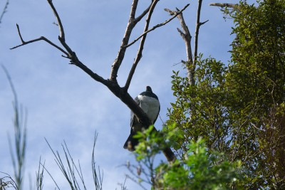 Image of the NZ Bird of the Year - the kereru