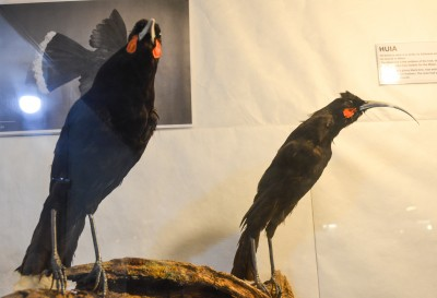 Two of Okains Bay Museum's five huia birds