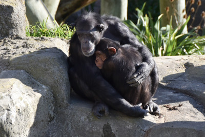 Mother and child chimpanzee